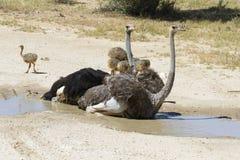 Família das avestruzes que têm um banho no sol quente do Kalahari imagem de stock