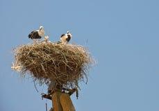 Família das cegonhas Imagens de Stock
