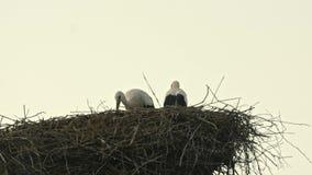 Família das cegonhas em um céu azul do grande ninho video estoque