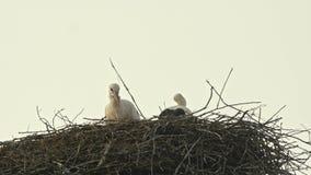 Família das cegonhas em um céu azul do grande ninho filme