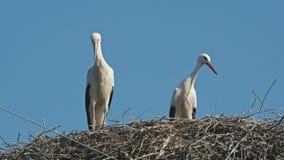 Família das cegonhas em um céu azul do grande ninho vídeos de arquivo
