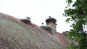 Família das cegonhas nos ninhos filme