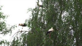 Família das cegonhas nos ninhos vídeos de arquivo