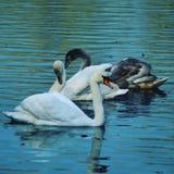 Família das cisnes apenas fotos de stock