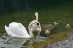 Família das cisnes com os cisnes novos no lago do hallstaettersee hallstatt imagem de stock