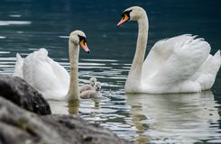 Família das cisnes com os cisnes novos no lago do hallstaettersee hallstatt imagens de stock