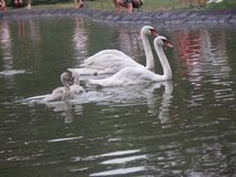 Família das cisnes em Novi Sad imagens de stock