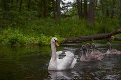 Família das cisnes que nadam no Polônia do rio Fotos de Stock Royalty Free