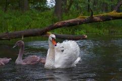 Família das cisnes que nadam no Polônia do rio Imagens de Stock