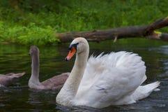 Família das cisnes que nadam no Polônia do rio Imagem de Stock Royalty Free