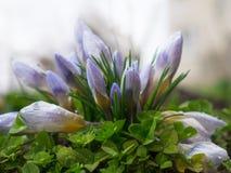 A família das flores dos açafrões Foto de Stock