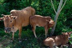 A família das vacas imagem de stock