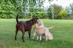 Família de cão feliz de Labrador imagem de stock