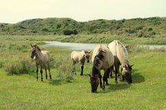 Família de cavalos selvagens nos Países Baixos Fotografia de Stock Royalty Free