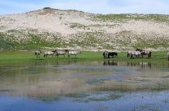 Família de cavalos selvagens nos Países Baixos Imagens de Stock Royalty Free
