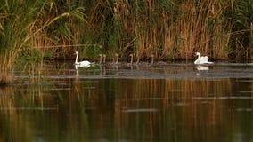Família de cisnes mudas no delta de Danúbio foto de stock