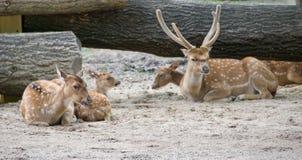 Família de deers da linha central Fotos de Stock Royalty Free