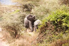 Família de elefantes africanos fotografia de stock royalty free