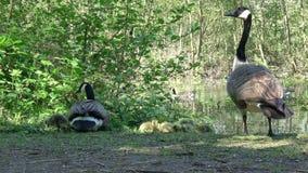 Família de gansos canadenses vídeos de arquivo