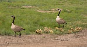 Família de gansos canadenses para fora para uma caminhada Imagem de Stock Royalty Free