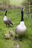 Família de gansos de Canadá fotos de stock
