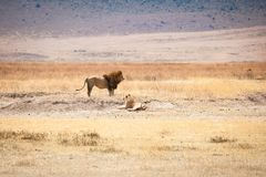 Família de Lion Panthera leo imagem de stock royalty free