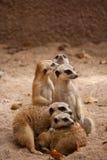 Família de meercats curiosos Fotografia de Stock