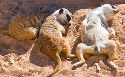 Família de Meerkat Fotografia de Stock Royalty Free
