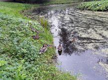 Família de patos selvagens perto da lagoa coberto de vegetação Modo do outono fotografia de stock