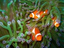 Família de peixes tropical do palhaço Fotografia de Stock