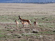 Família de Pronghorn em Prescott Highlands imagem de stock