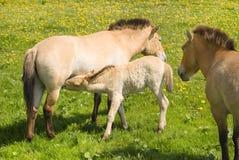 Família de Przewalski Fotos de Stock