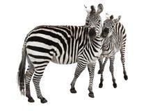 A família de uma zebra Fotos de Stock