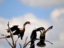 Família do Anhinga na árvore sobre a água dos pantanais Fotos de Stock Royalty Free