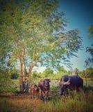 Família do búfalo foto de stock