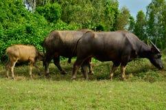 Família do búfalo Fotos de Stock