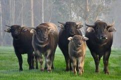 Família do búfalo Fotografia de Stock Royalty Free