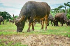 Família do búfalo de Tailândia em suas planícies 1 da pradaria foto de stock