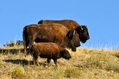 Família do búfalo que está em um montanhês. Foto de Stock Royalty Free