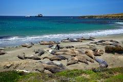 Família do banho de Sun dos selos de elefante na praia fotos de stock royalty free