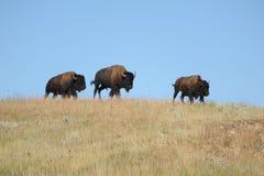 Família do bisonte americano em South Dakota Fotografia de Stock