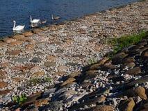 Família do branco e do Grey Swan com backround de pedra foto de stock