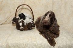 Família do cachorrinho de encontro de cocker spaniel do inglês Fotografia de Stock Royalty Free
