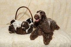 Família do cachorrinho de encontro de cocker spaniel do inglês Fotos de Stock Royalty Free