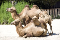 Família do camelo Fotografia de Stock