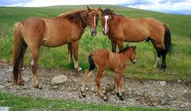 Família do cavalo Fotos de Stock