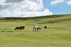 Família do cavalo que pasta #2 Fotografia de Stock