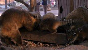 A família do coati come e alimentadores no jardim zoológico vídeos de arquivo