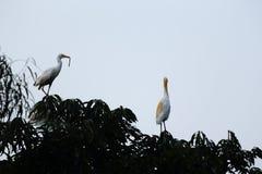 Família do egret Imagens de Stock