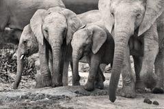Família do elefante Imagem de Stock Royalty Free